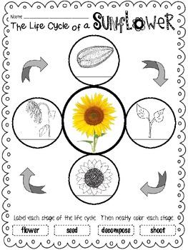 Life Cycle Unit: Sunflowers
