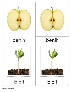 Life Cycle of An Apple Bahasa Indonesia (Fase Hidup Apel)