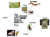Life Cycle of Insects Animated Powerpoint