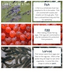 Life Cycle of Vertebrates