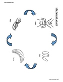 Life Cycle of a Ant