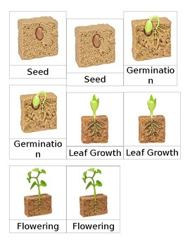 Life Cycle of a Bean Plant 3 Part Cards