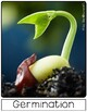 Life Cycle of a Bean Plant | Lg Posters | English