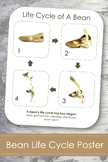 "Life Cycle of a Bean Plant; Montessori 8x10"" Poster for Display"