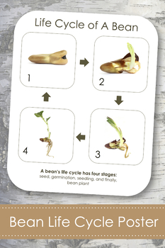 """Life Cycle of a Bean Plant; Montessori 8x10"""" Poster for Display"""