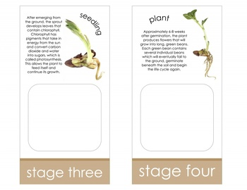 Life Cycle of a Bean Plant; Montessori matching activity for models