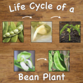 Life Cycle of a Bean Plant Sequencing Cards with Real Pictures / Photos