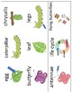 Life Cycle of a Butterfly Vocabulary Cards - Great for ESL/ENL