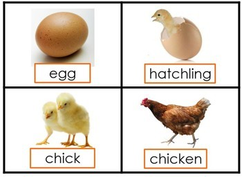 photograph about Life Cycle of a Chicken Printable called Lifetime Cycle of a Bird
