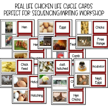 Life Cycle of a Chicken and EGGcelent Activities