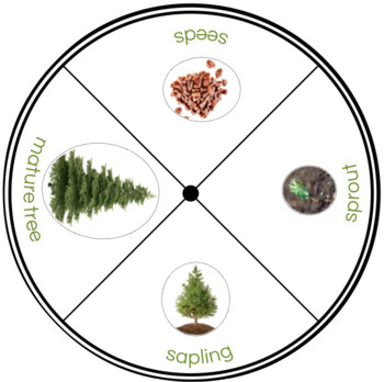 Life Cycle of a Conifer Plant