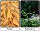 Life Cycle of a Coniferous Tree | Sm Posters | English