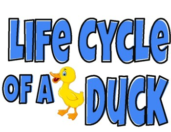 Life Cycle of a Duck