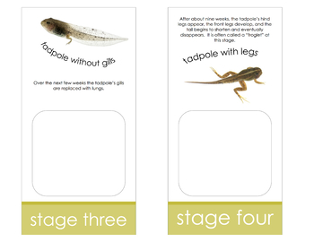 Life Cycle of a Frog; Montessori matching activity for models
