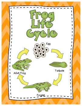 Life Cycle of a Frog Posters