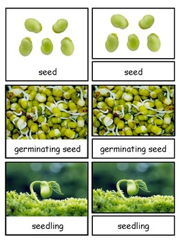 Life Cycle of a Green Bean Plant  Montessori 3-part cards