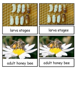 Life Cycle of a HoneyBee