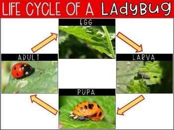 Life Cycle of a Ladybug {Freebie}