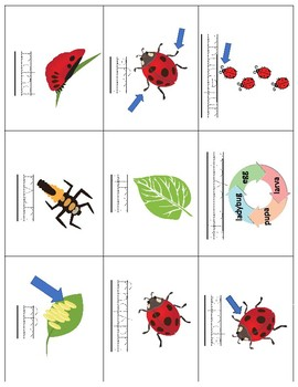 Life Cycle of a Ladybug Vocabulary Cards - Great for ESL/ENL