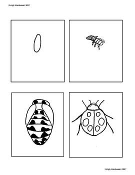 Life Cycle of a Ladybug Work sheet