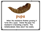 Life Cycle of a Mealworm Posters with Real Photographs!