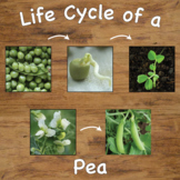 Life Cycle of a Pea Plant Sequencing Cards with Real Pictures / Photos