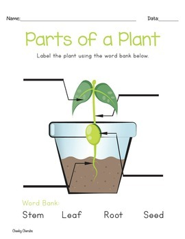 Life Cycle of a Plant - Posters and Activities