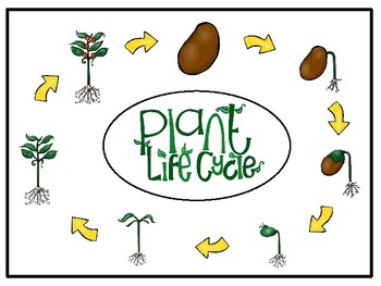 Life Cycle of a Plant-Bilingual