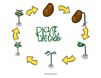 Life Cycle of a Plant Bundle