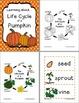 Life Cycle of a Pumpkin (PreK - 2nd)