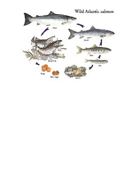 Life Cycle of a Salmon (fish)