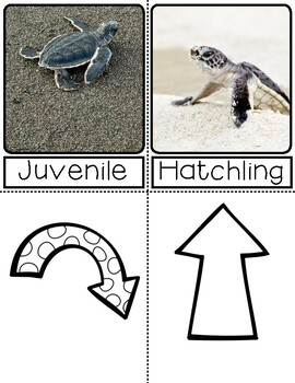 Life Cycle of a Sea Turtle   3 Part Cards PreK   English