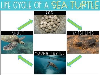 Life Cycle of a Sea Turtle {Freebie}