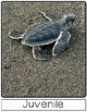 Life Cycle of a Sea Turtle | Lg Posters | English