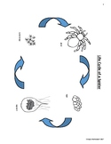 Bundle Life Cycle of a Spider Montessori, Waldorf, ReggioH