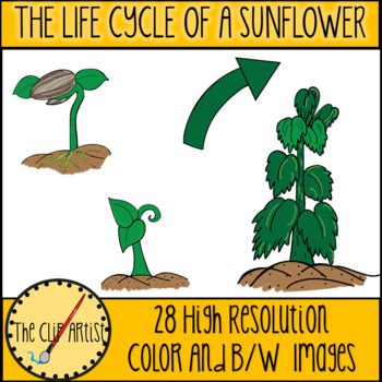 Life Cycle of a Sunflower Clip Art