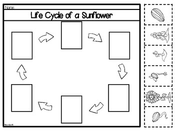Life Cycle of a Sunflower-Bilingual