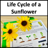 Life Cycle of a Sunflower NGSS 3-LS1-1