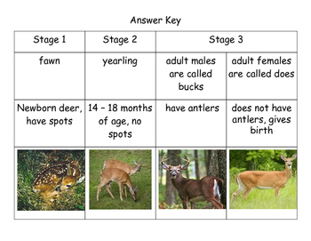 Life Cycle of a White-Tailed Deer Matching Activity