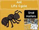 Life Cycle of an Ant | Small Posters | English