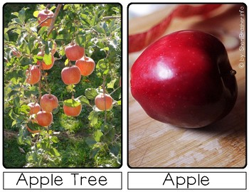 Life Cycle of an Apple | Sm Posters | English