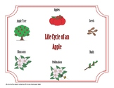 Life Cycle of an Apple Worksheet with Master Copy