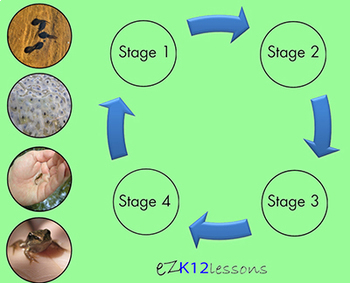 Life Cycle of the Frog   Smartboard Activity