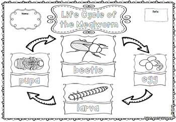 Life Cycle of the Mealworm