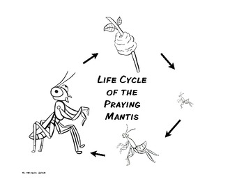 praying mantis coloring page - life cycle of the praying mantis freebee by finding