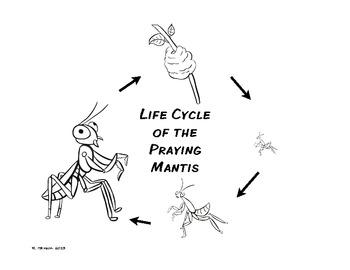 Life Cycle of the Praying Mantis Freebee