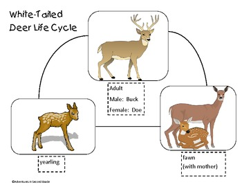 Life Cycle of the White Tailed Deer