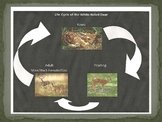 Life Cycle of the White-tailed Deer PowerPoint
