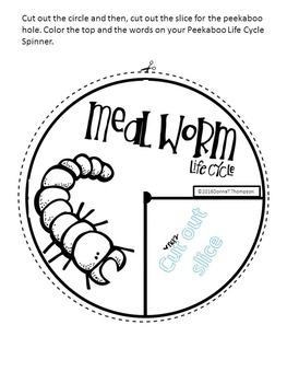 """Mealworm """"Life Cycle"""""""
