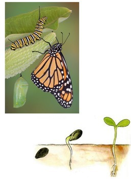 Life Cycles:  Butterfly and Plant